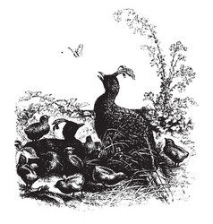 Impeyan pheasant vintage vector