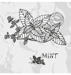 Hand drawn mint plant vector