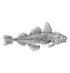skeleton of a haddock vintage vector image vector image