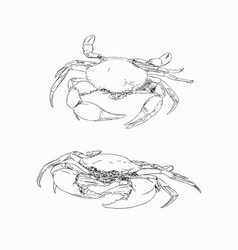 vintage crab drawing hand drawn monochrome vector image vector image