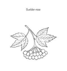 Viburnum opulus or guelder rose vector