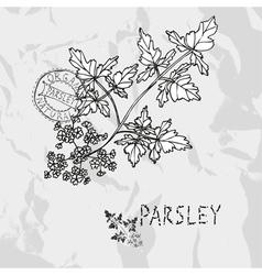 Hand drawn parsley vector