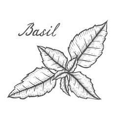 basil fresh herb leaves plant vector image