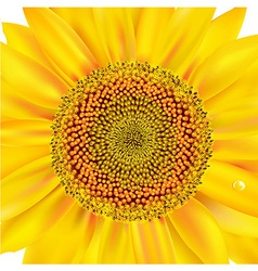 Sunflower closeup vector