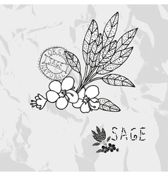 Hand drawn sage vector