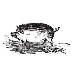 Hog vintage vector