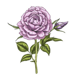 Hand drawn violet rose flower isolated on white vector