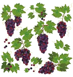 Set of black grape isolated on white background vector