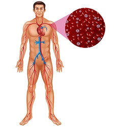 Blood circulation in human body vector