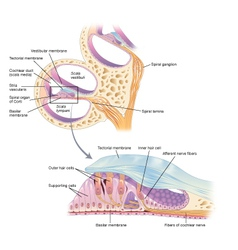 Ear structures vector image