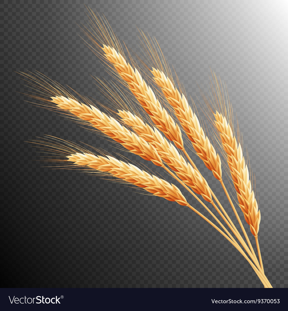 Wheat ears isolated eps 10 vector