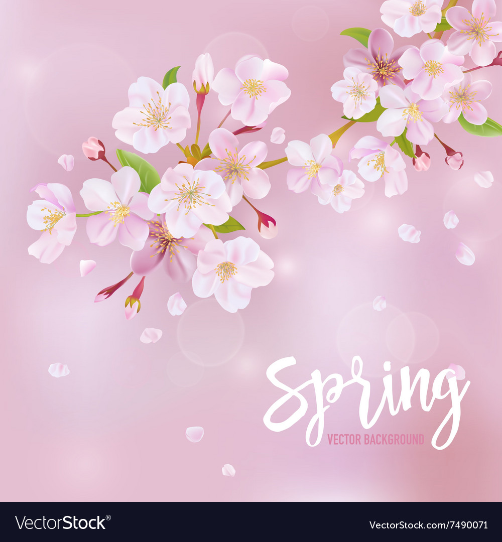 Cherry blossom spring background vector