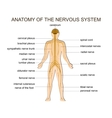 ANATOMY OF THE NERVOUS SYSTEM vector image