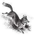 Golden jackal vintage engraving vector image
