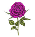 hand drawn deep purple flower isolated on white vector image