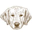 engraving of labrador head vector image
