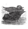 Wigeon vintage engraving vector image vector image