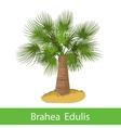 Brahea Edulis cartoon tree vector image