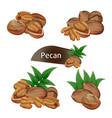 pecan kernel in nutshell with leaves set vector image