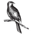 canary vintage vector image