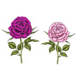 two hand drawn pink and purple rose flowers vector image