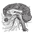 vertical section of the brain vintage vector image