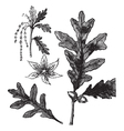 White Oak vintage engraving vector image vector image