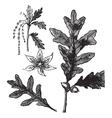 White Oak vintage engraving vector image