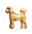 poodle in profile watercolor vector image