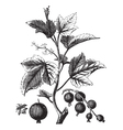 Ribes berry or blackcurrant or vintage engraving vector image