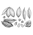 cocoa beans isolated on white background vector image