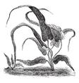 walking fern vintage engraving vector image vector image