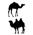 Two camels on a white background vector image