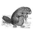 Beaver vintage engraving vector image vector image