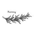 rosemary branch sketch vector image