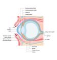 anatomy eye vector image vector image