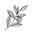branch of tea plant engraving style vector image