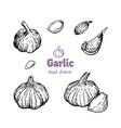 garlic bulbs and cloves hand drawn vector image