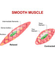 Smooth muscle vector image