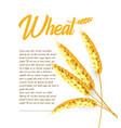 grain wheat barley oat rice cob bright vector image
