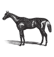 Thoroughbred vintage engraving vector image vector image