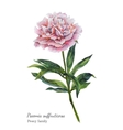 Watercolor botanical of pink peony vector image