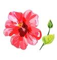Red watercolor Hibiscus flower vector image