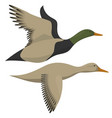 drake and duck flying vector image