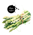 Watercolor asparagus Isolated eco food on white vector image