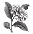 Winter rose vintage engraving vector image