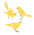 singing gold birds canary vintage set two vector image