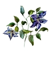 Clematis flower vector image vector image