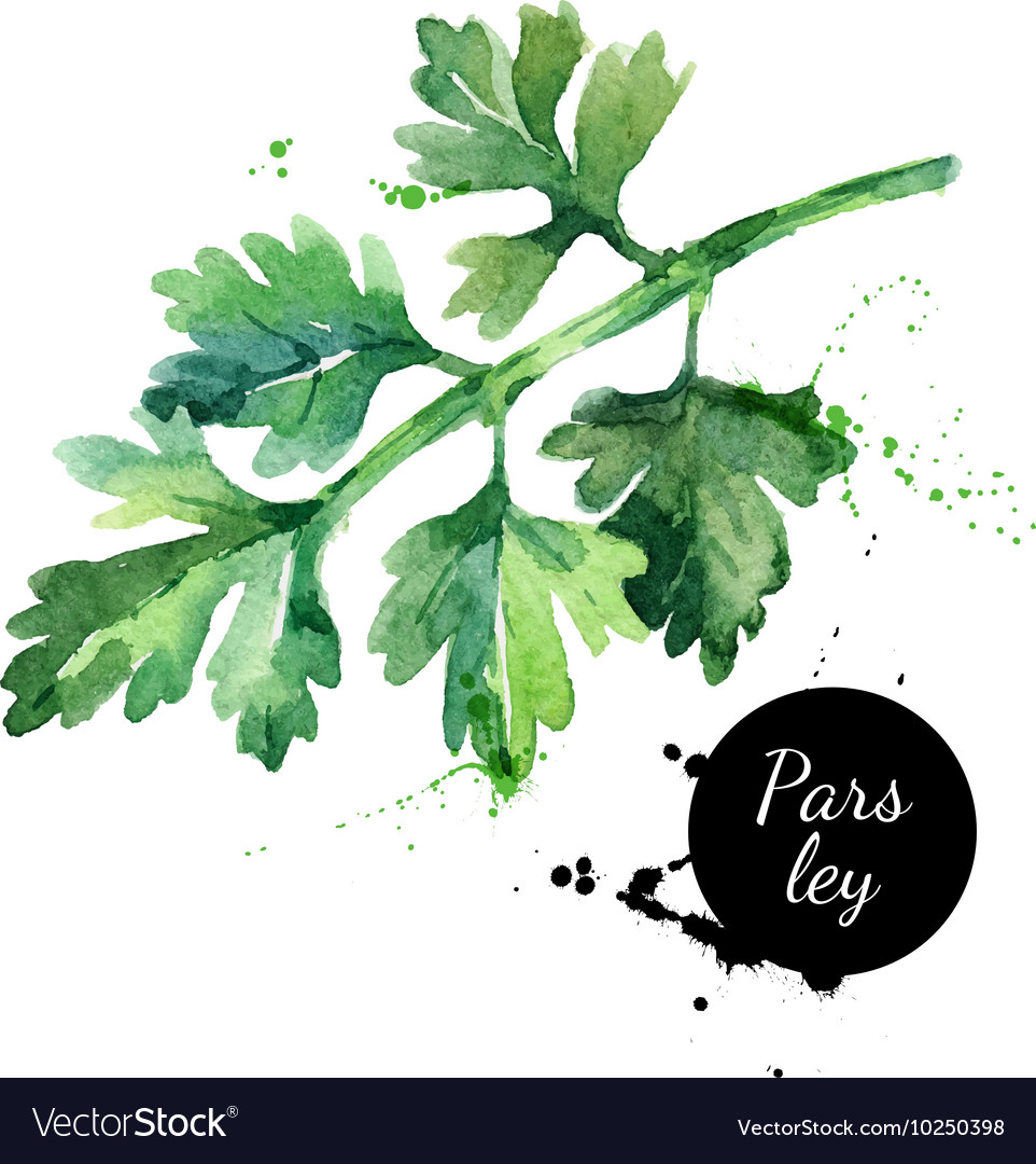 Watercolor hand drawn parsley isolated organic vector