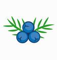 blue color juniper berry vector image